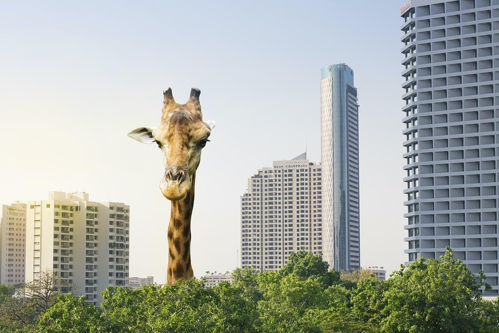 Giraffe schaut von oben - Perspektive wechseln